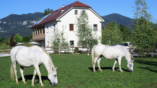 Two white horses in a field in front of a big house