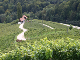 A vineyard in the Maribor region
